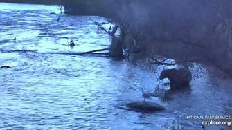 907 early morning fisher bear 10 16 2019, video by Lani H