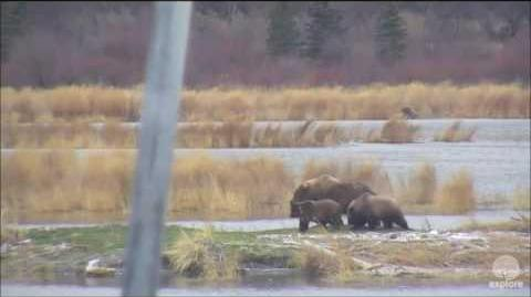 153 with 3 spring cubs Cameos, October 21, 2016 (mis-identified as 171) video by Melissa Freels