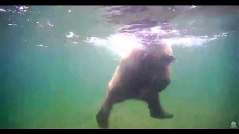435 Holly and 503 Cubadult on underwater cam 06 28 2015 video by JoeBear