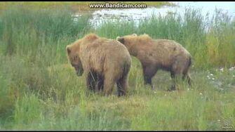 Bear 402 new emancipated cubs Brooks falls cam 2017 07 12 01 14 15 083 by Erum Chad (aka Erie)-0