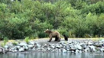 Sow 708 & Coys ~ 2019 07 12 by Victoria White (includes 708 nursing her 2 spring cubs)
