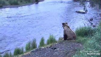 Sub adult bear Brooks Falls - Katmai June 24, 2020, video by Erum Chad