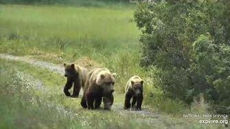 Unknown sow and 2 yearlings or older cubs 7 17 2020, video by Lani H