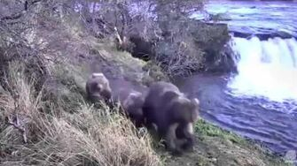 10 00 am AKDT moms and cubs by Falls Katmai National Park by Mickey Williams 708 Amelia with her 2 spring cubs?