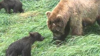 Brown Bear Spring Cubs Play with Mom by Justin Gibson (2013 season?)