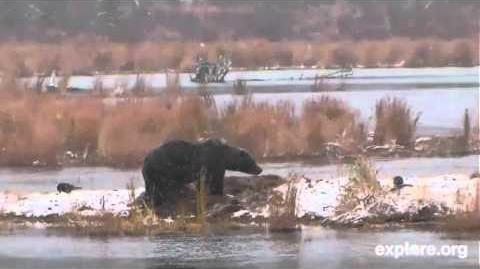 09 10 October 18, 2012 Another bear capitalizes on the remains in 814's cache video by Eaglewhisperer18