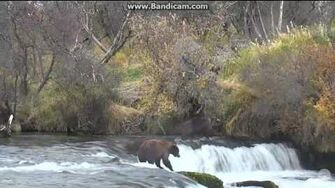 274 Overflow (not 469 Patches) displaced by Unknown bear Brooks falls Katmai 2016 10 08 22 47 02 272 by Erum Chad (aka Erie)