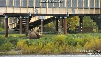 482s Cub Chews on Electric Fence 2019-09-22 20-49-51-867, video by Birgitt