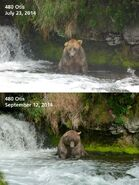 2014 FAT BEAR TUESDAY 2014.09.30 14.00 KNP&P FB POST 480 OTIS 2014.07.23 vs 2014.09.12 PHOTOS ONLY