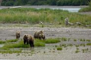 INFO BEARS SEEN 2015.06.02 HOLLY 435 w HER YEARLING CUB & 503 2.5 Y O ADOPTED CUB RMIKE FEATURED COMMENT PIC 03