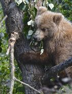 813 Nostril Bear's smaller yearling treed near the falls June 29, 2019 photo by Truman Everts