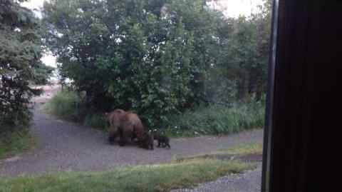 402 and spring cubs walk past Brooks Lodge July 13, 2015 by Rockatte