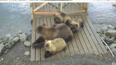 Halt! who goes there? Divot and cubs on bridge reacting to intruders September 11, 2016 by Ratna
