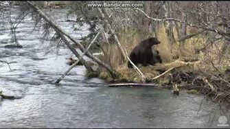Bear 504 Charge with 2 cubs Brooks falls Katmai 2016 10 19, video by Erum Chad