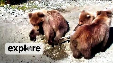Meet Beadnose and cubs 2013 video by Explore-0