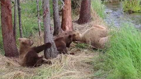 Three Cute Brown Bear Cubs Play and Wrestle for Six Minutes Straight Early 2016 Season by Vaguely Crunchy