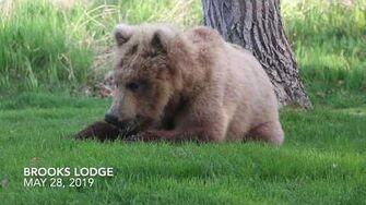Young Bear Eating Grass 2019 by Kara Stenberg (Howlsthunder) May 28, 2019