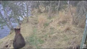 Bear 504 and Cubs Brooks Falls Katmai 2016 10 21, video by Erum Chad-0