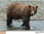 NOSTRIL BEAR 813 PIC 2013.07.xx NPS PHOTO 2015 BoBr PG 46 03