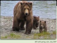 409 BEADNOSE PIC 2007.07.xx w SPRING CUBS 130 TUNDRA & ARCTIC 2nd KNOWN LITTER in 2012 BoBr iBOOK 01