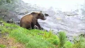 284 & Cubs at Brooks Falls ~ 2017 08 12, video by Victoria White
