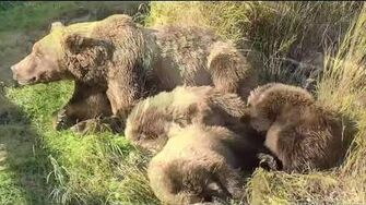 Bear 273 and cubs Sept and Oct 2019, video by Deanna Dittloff