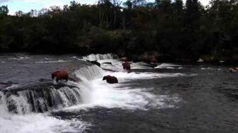 Mama bear fishing at Brooks Camp, video by Jen Moorman
