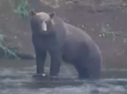 WHO SUBADULT MALE 2019.08.15 LIMPING RIGHT FRONT LEG 2020.01.04 COMMENTS 01-05 PIC ONLY