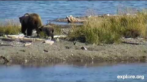 171 and her remaining spring cub (610?) 09 28 2014 video by JoeBear