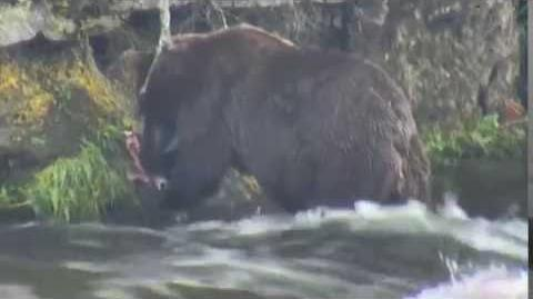 410 eating salmon at Brooks Falls 08 08 2016 video by Brenda D