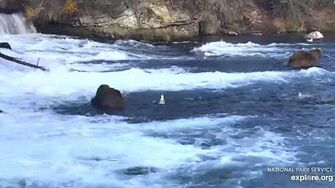 Two subadults at the falls 907 and??? 10 15 2019, video by Lani H