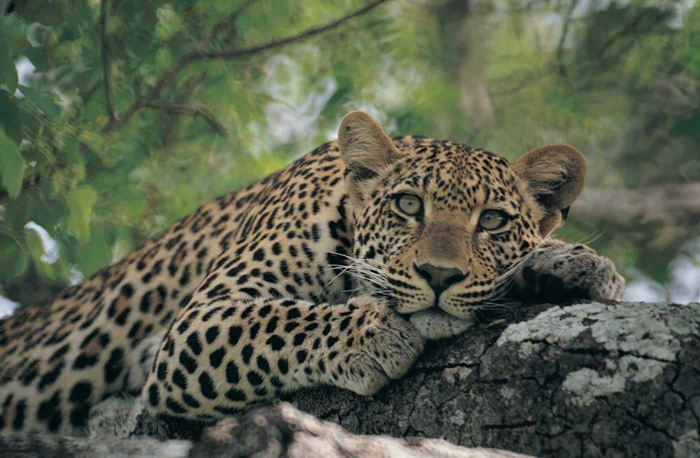 Bild  Leopardenleopardafrika6gjpg  Katzenverwandte Wiki