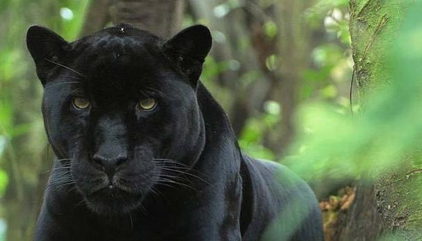 Schwarzer Panther Katzenverwandte Wiki Fandom Powered