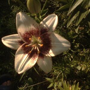 Еммануил-цветок (квадрат)