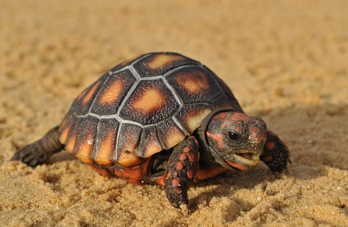 Full Grown Red Footed Tortoise