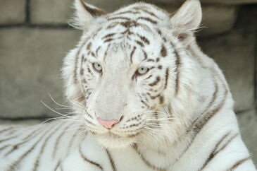 White Tiger real