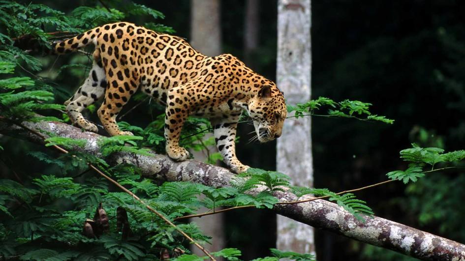 image jaguar real jpg japari library wiki fandom powered by wikia