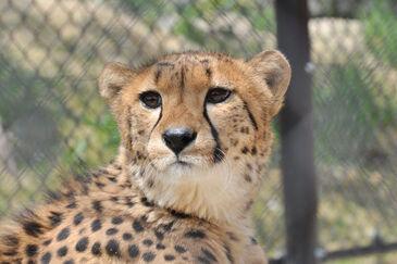 Cheetah real