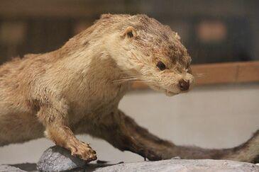 Japanese Otter