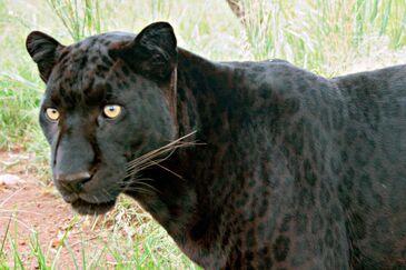 Black Leopard real