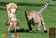 Dallas Zoo and Kemono Freinds Cheetahs