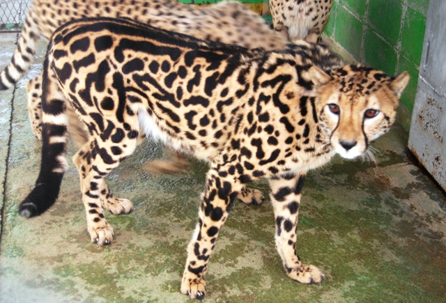 Image - King Cheetah.jpg