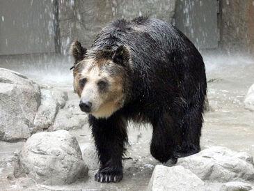Ezo brown bear