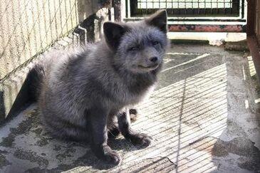 Silver Fox real