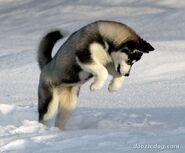 Siberian-Husky-Puppy-5