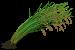 Riceweed