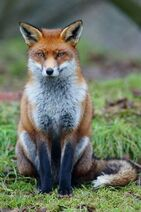 Fox, red (Vulpes vulpes)