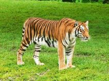 Tiger, bengal (Panthera tigris tigris)