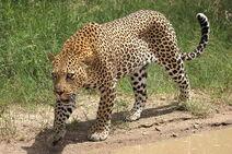 Leopard, African
