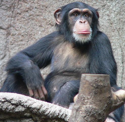 File:Chimpanzee.png
